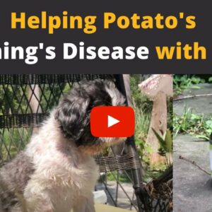 CBD oil for dogs with Cushing's Disease!