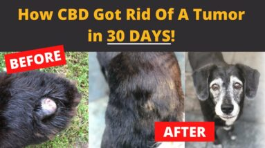 How CBD got rid of this dogs tumor in 30 days!