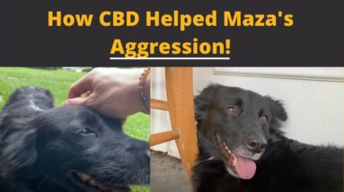 How CBD helped this dog with aggression.